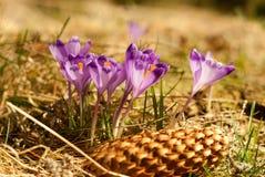 Purple crocuses. Violet crocuses. Royalty Free Stock Image