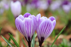 Purple crocuses Royalty Free Stock Image