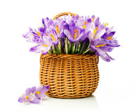 Purple crocuses in a wicker basket Royalty Free Stock Photos
