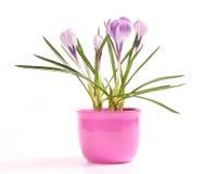 Purple crocusses Royalty Free Stock Photography