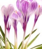 Purple crocusses Royalty Free Stock Photo