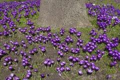 Purple crocusses aroud trunk of oak tree Royalty Free Stock Image