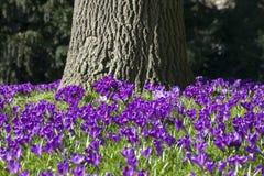 Purple crocusses aroud trunk of oak tree Stock Photo