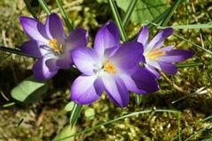 Purple crocusses Royalty Free Stock Images