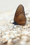Purple crow butterfly Royalty Free Stock Photography