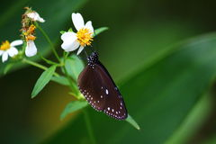 Purple Crow Butterfly (Genus Eupnoea). Purple Crow Butterfly feeding on a white flower with green leaves in the background. Picture was taken in Taiwan in Royalty Free Stock Photography