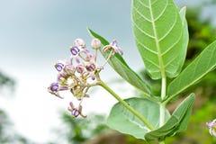 Purple crown flower,Giant Indian Milkweed,Gigantic Swallowwort Stock Photography