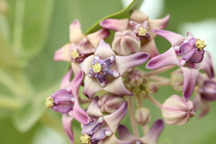 Purple Crown Flower (Giant Indian Milkweed, Gigantic Swallowwort, Calotropis gigantea) Stock Image