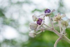 Purple crown flowers Royalty Free Stock Image