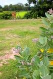 Purple crown flowers & x28;Calotropis gigantea& x29; blooming on the tree Royalty Free Stock Photos