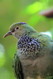 Purple-crowned fruit dove Royalty Free Stock Image