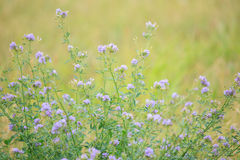 Wild alfalfa - Psoralidium tenuiflorum stock images