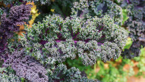 Purple curly kale Royalty Free Stock Images