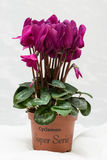 Purple cyclamen bloom and green leaf. Blooming lilac flower. Violet blossom and pot. Royalty Free Stock Photos