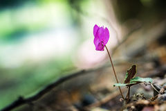 Purple Cyclamen flowering in a dark forest Royalty Free Stock Images