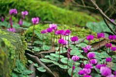 Purple Cyclamen Flowers in springtime Stock Photo