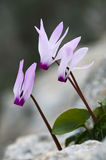 Purple Cyclamen flowers royalty free stock image