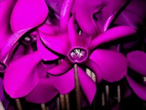 Purple Cyclamen Royalty Free Stock Photography