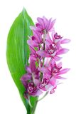 Purple cymbidium with green leave Royalty Free Stock Photo