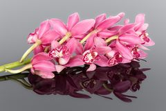 Purple cymbidium isolated on a gray background Stock Image