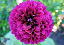 Purple Dahlia Stock Photos
