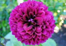 Purple Dahlia. Closeup of a purple dahlia Stock Photos