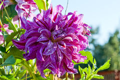 Purple dahlia Royalty Free Stock Photos