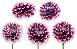 Purple dahlia. Royalty Free Stock Image