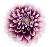 Purple dahlia Royalty Free Stock Photography