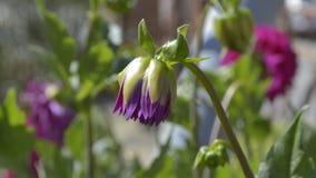 Purple dahlia bud. Close-up of a beautiful purple dahlia bud stock photo