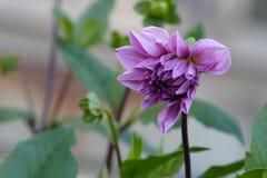 Purple dahlia Stock Photography
