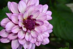 Purple dahlia flower close up Stock Photography