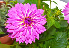 Purple dahlia flower royalty free stock photography