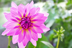 Purple dahlia flower stock image