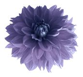 Purple dahlia flower isolated on white background with clipping path.  Closeup no shadows. Nature Stock Image