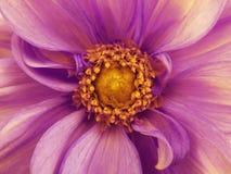 Purple dahlia  flower. Macro. Yellow pistils  stamens. Yellow Center. For design. Stock Photo