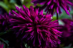 Purple dahlia flower in the shade. Is close royalty free stock photos