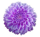 Purple Dahlia  flower, white  background isolated  with clipping path.  Closeup. With no shadows.  Macro. Nature Royalty Free Stock Images