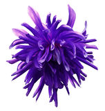 Purple dahlia flower  on  white isolated background with clipping path  no shadows. Closeup. Royalty Free Stock Image