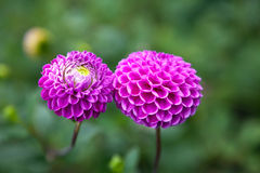 Purple Dahlia Flowers. Two purple/violet ball Dahlia flowers. Newly blossomed Royalty Free Stock Photo