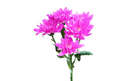 Purple dahlia flowers isolated on white Stock Photography