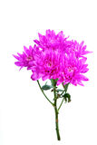 Purple dahlia flowers on white background Stock Photo