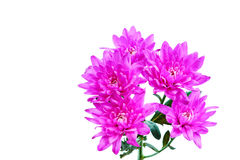 Purple dahlia flowers on white Stock Images