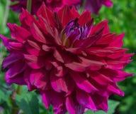 Purple dahlia. A large purple dahlia flower Stock Image