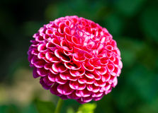 Purple dahlia macro Royalty Free Stock Image