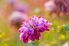 Purple dahlia outdoors Royalty Free Stock Photo