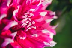 Purple dahlia, single flower in selective  focus Stock Images