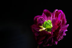 Purple dahlias flower on black background. Royalty Free Stock Photo