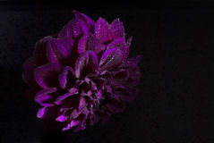 Purple dahlias flower on black background. Stock Image