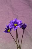 Purple Daisies. Purple daisy blooms photographed on a grey background with pink highlights Royalty Free Stock Image